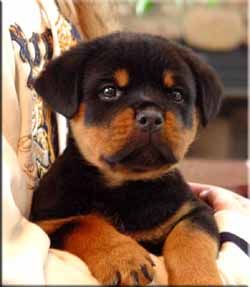 Well Trained Rottweiler Puppies