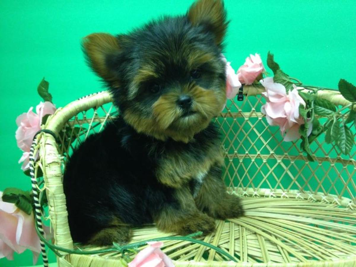Purebred Teacup Yorkshire Terrier Puppies