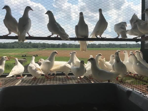 Pigeons For Sale in Gravette Arkansas