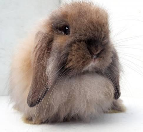 Rabbits For Sale In Macclenny Florida