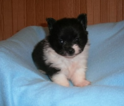 pjhnbhgbv  Male and female Pomeranian  puppies