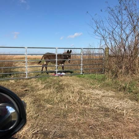 Free! 2 male donkeys raised with cattle