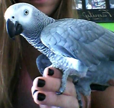 Female African Grey parrot with Cage