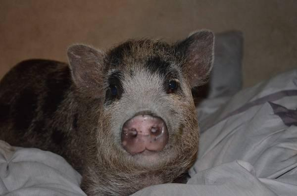 Pet Pigs for Adoption