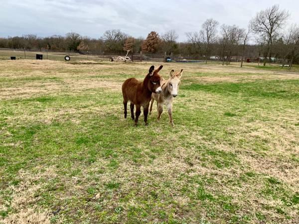 Donkeys For Sale in Laramie Wyoming Craigslist Donkeys For