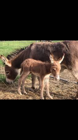 Donkeys For Sale in Carrizozo New Mexico Craigslist Donkeys