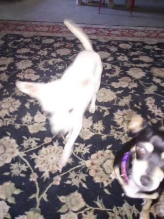 Dogs For Sale In Siloam Springs Arkansas