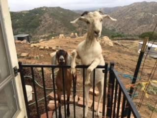 We want to share our Goats