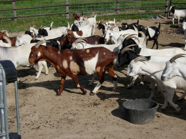 Holstein heifers,Cows,Camels,Sheeps,Boer Goats for Sale