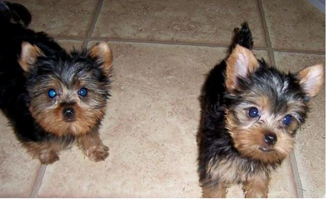 Two Male and female pups Yorkie