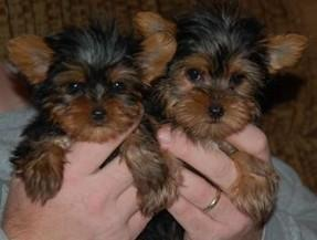 well trained Yorkshire terrier puppies
