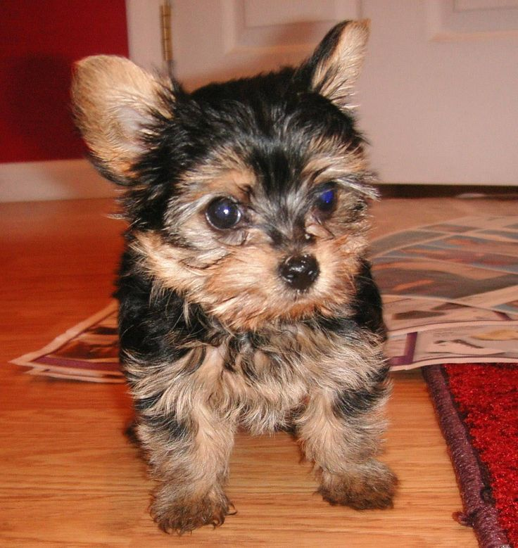 very small teacup Yorkie puppies