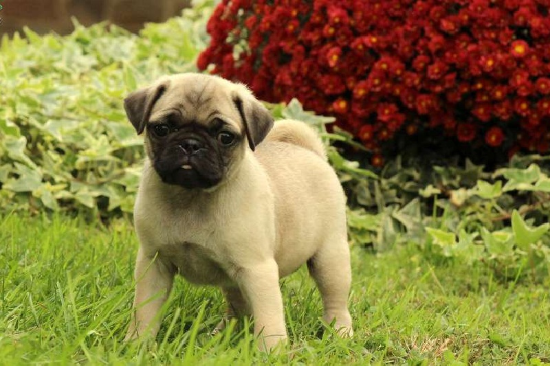 Available pug-puppy