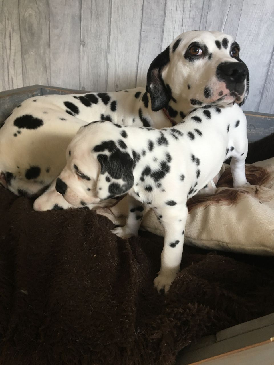 Dalmatian Puppies For Sale  (408) 676-7528