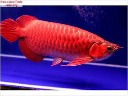 Healthy Arowana Fish Available