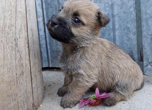 Union Cairn Terrier Puppie Ohio Craigslist Classifieds