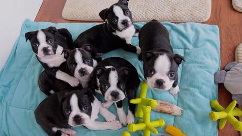 Very healthy and cute Boston Terrier puppies for you.