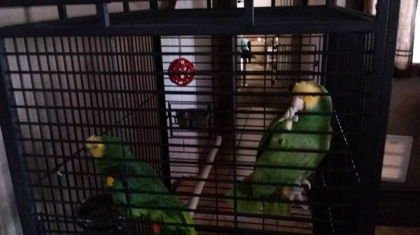 yellow head amazon parrots for sale