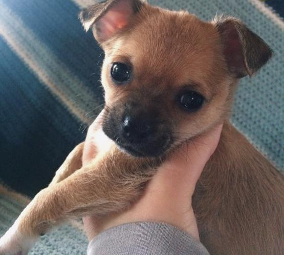 T-Cup Chihuahua Puppies For Sale