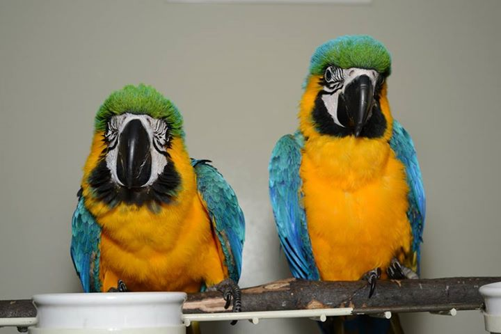 Blue and gold macaws