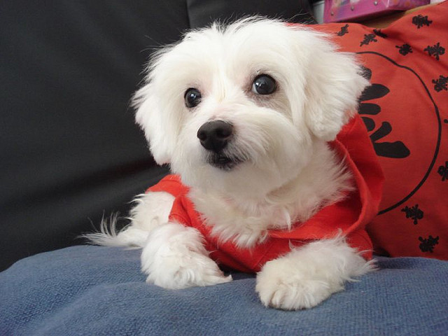 Happy Teacup Maltese Puppies Text..(916) 538-0879