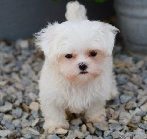 Happy Teacup Maltese Puppies Text..(503) 987-8272