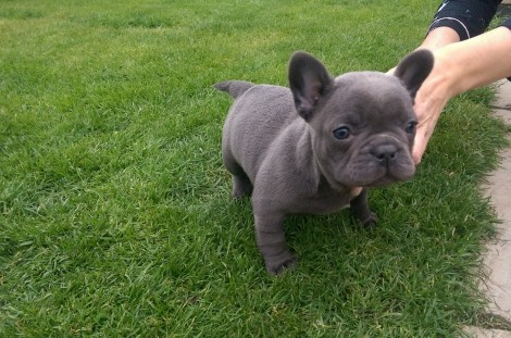 french bulldog puppy available