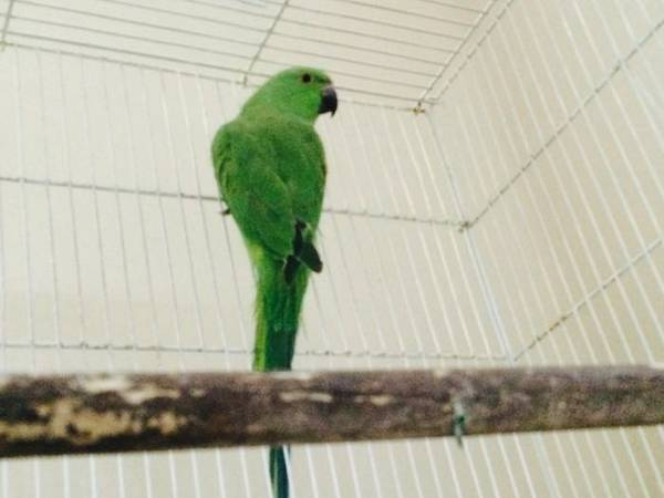 Parrot - Ringneck - Quite and Friendly - Free Cage with wheels