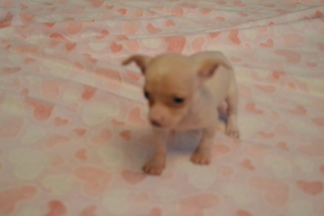 five extra micro tiny teacup chihuahua puppies