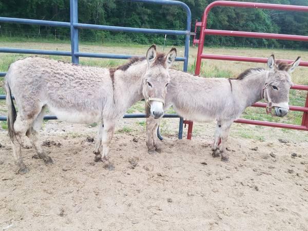Donkeys For Sale in Orem Utah Craigslist Donkeys For Sale Classifieds