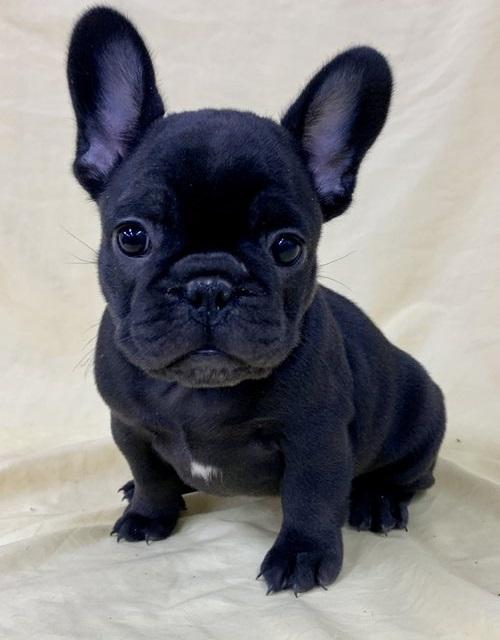 Sale French Bulldog For Sale Price In Davison Michigan